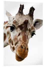 Acrylic print  Giraffe - Power and Syred