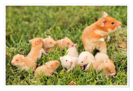 Poster  Golden hamster with young - PhotoStock-Israel