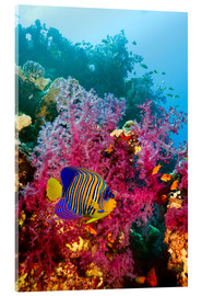 Acrylic print  Regal angelfish - Georgette Douwma