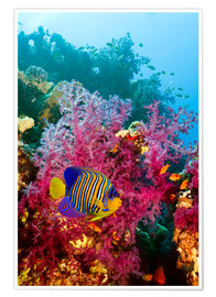 Poster  Regal angelfish - Georgette Douwma