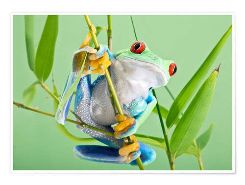 Premium poster Red-eyed tree frog