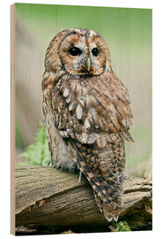 Wood print  Tawny owl - Linda Wright