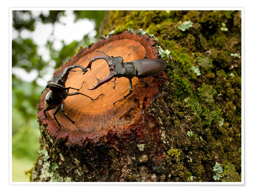 Premium poster Greater Stag Beetles