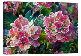Canvas  Hydrangea - Keith Wheeler