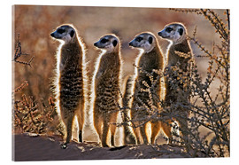 Acrylic print  Meerkats on guard duty - Tony Camacho