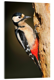 Acrylic print  Great spotted woodpecker - Colin Varndell