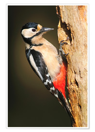 Premium poster  Great spotted woodpecker - Colin Varndell