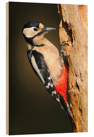 Wood print  Great spotted woodpecker - Colin Varndell