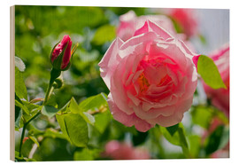 Wood  Rose (Rosa 'Madam Gregoire Staechelin') - Keith Wheeler