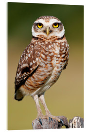 Acrylic glass  Burrowing owl - Tony Camacho