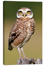 Canvas print  Burrowing owl - Tony Camacho