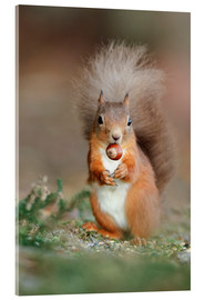 Acrylic print  Red squirrel eating a hazel nut - Duncan Shaw