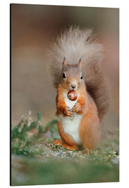Alu-Dibond  Red squirrel eating a hazel nut - Duncan Shaw