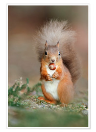 Premium poster  Red squirrel eating a hazel nut - Duncan Shaw