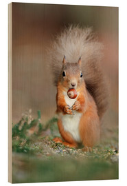 Wood print  Red squirrel eating a hazel nut - Duncan Shaw