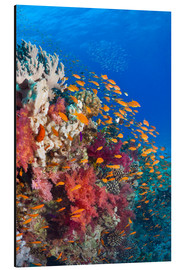 Aluminium print  Lyretail anthias feeding on a reef - Georgette Douwma