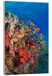 Wood  Lyretail anthias feeding on a reef - Georgette Douwma