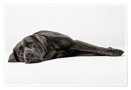 Premium poster Labrador shoe-dog totally relaxed