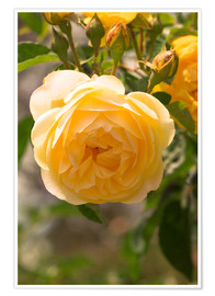 Premium poster  yellow rose - Adrian Thomas