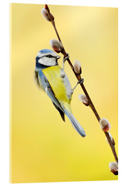 Acrylic print  Blue tit on pussy willow - Rolfes