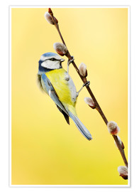Premium poster Blue tit on pussy willow