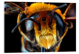 Acrylic print  Male bee head