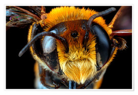 Poster  Male bee head