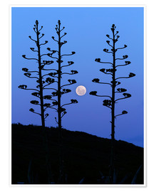 Premium poster Full Moon and agave trees