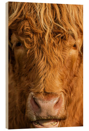 Wood print  Highland cattle - Simon Booth