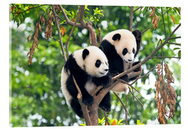 Acrylic print  Young Pandas in a tree - Tony Camacho