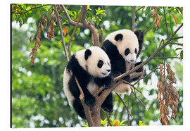 Aluminium print  Young Pandas in a tree - Tony Camacho