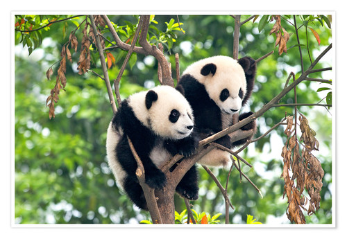 Premium poster Young Pandas in a tree