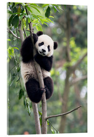 Acrylic print  Panda on a tree - Tony Camacho