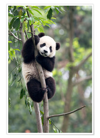 Premium poster  Panda in a Tree - Tony Camacho