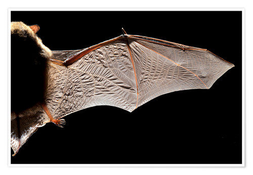 Premium poster Common pipistrelle bat wing