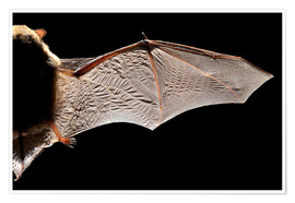 Poster  Common pipistrelle bat wing - Alex Hyde