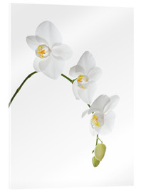 Acrylic print  Orchid flowers (family Orchidaceae) - GAVIN KINGCOME