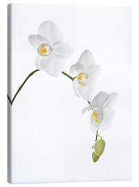 Canvas print  Orchid flowers (family Orchidaceae) - GAVIN KINGCOME