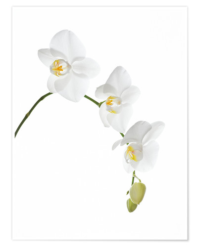 Poster Orchid flowers (family Orchidaceae)