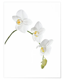 Premium poster Orchid flowers (family Orchidaceae)