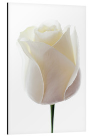 Aluminium print  White Rose - GAVIN KINGCOME
