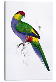 Canvas print  Red capped Parakeet 1 - Edward Lear