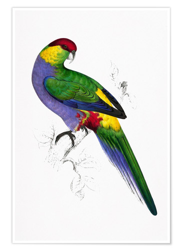 Poster Red capped Parakeet 1