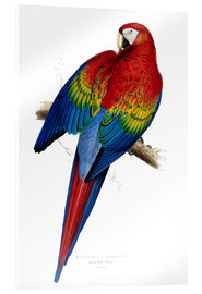 Acrylic print  Red & Yellow Macaw - Edward Lear