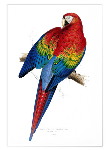Premium poster Red & Yellow Macaw
