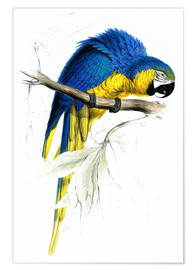 Premium poster Blue & Yellow Macaw
