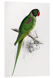 Foam board print  Hooded Parakeet - Edward Lear