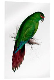 Acrylic print  Long billed Parakeet Macaw - Edward Lear