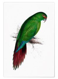 Premium poster Long billed Parakeet Macaw