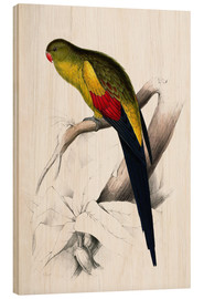 Wood print  Black tailed Parakeet - Edward Lear